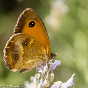 papillonbrunTGP